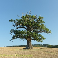 Ockley Oak - Summer 2011