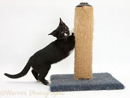 Black-and-white kitten using a scratching post