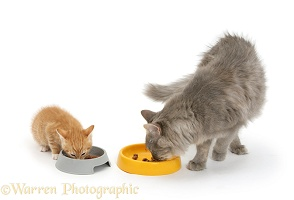 Cat and kitten eating