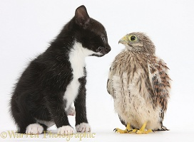 Baby Kestrel chick with black-and-white kitten