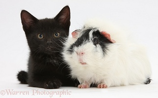 Black kitten and Guinea pig