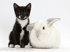 Black-and-white kitten, 9 weeks old, and white rabbit