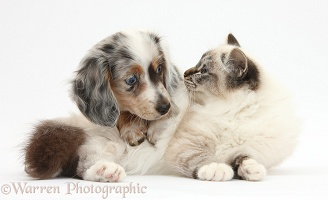 Birman cat and Dapple Dachshund pup