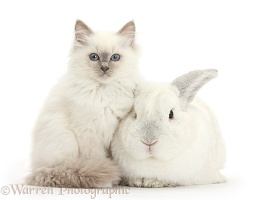 Blue-point kitten and white rabbit
