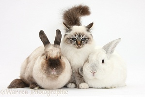 Tabby-point Birman cat and rabbits