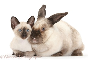 Colourpoint rabbit and Siamese kitten, 10 weeks old