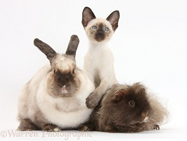 Rabbit, Guinea pig and Siamese kitten, 10 weeks old