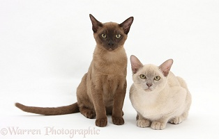 Young Burmese cats