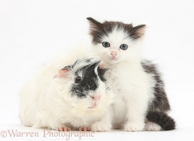 Black-and-white kitten and Guinea pig