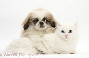 Pekingese pup and white kitten