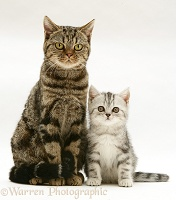 Brown tabby cat with silver tabby kitten