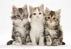 Three Maine Coon kittens