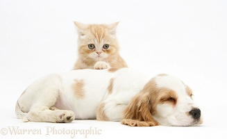 Sleepy Cocker Spaniel pup with ginger kitten