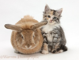 Sandy rabbit and Maine Coon-cross kitten