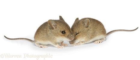 Baby yellow-necked mice