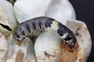 Grass snake emerging from egg