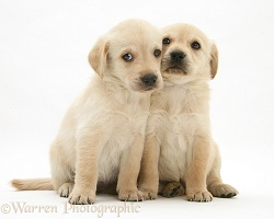 Cute Retriever-cross pups