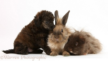 Red merle Toy Poodle pup, shaggy Guinea pig and rabbit