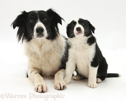Black-and-white Border Collie and pup, 6 weeks old