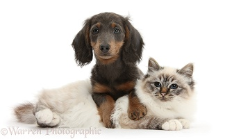 Birman cat and blue-and-tan Dachshund pup
