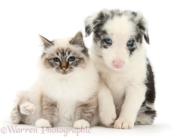 Tabby-point Birman cat and merle Border Collie pup