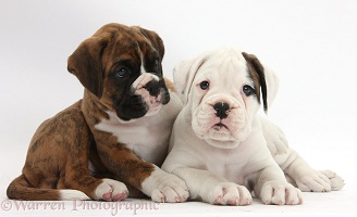 Two Boxer puppies lounging
