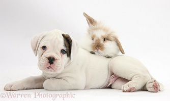 Boxer puppy and young fluffy rabbit