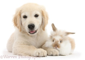 Golden Retriever pup and young rabbit