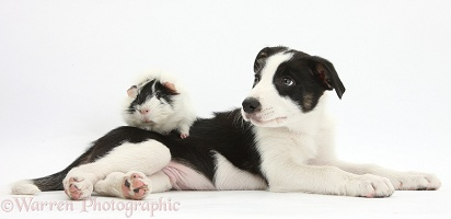 Black-and-white Border Collie pup and Guinea pig