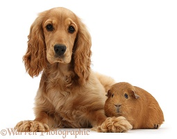 Golden Cocker Spaniel and red Guinea pig