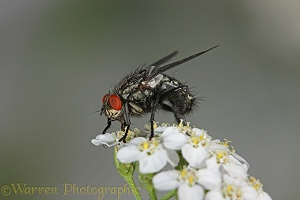 Grey Flesh Fly on Yarrow flower