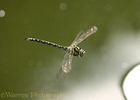 Southern Hawker Dragonfly male