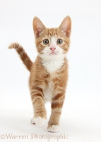 Ginger kitten walking forward
