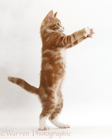Ginger kitten standing up with raised paws