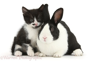 Black-and-white kitten and Dutch rabbit