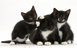 Black-and-white mother cat and kittens