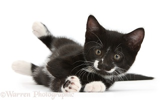 Black-and-white kitten rolling