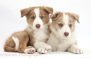 Two Lilac Border Collie pups