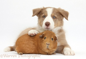 Lilac Border Collie pup and red Guinea pig