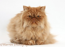 Ginger Persian male cat