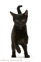 Black kitten running