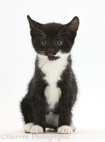 Black-and-white kitten, 6 weeks old, sitting