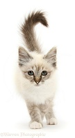Tabby-point Birman, 8 weeks old, kitten walking forward