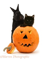 Black kitten and black rabbit with Halloween Pumpkin