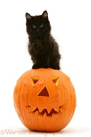 Black Maine Coon kitten with Halloween pumpkin