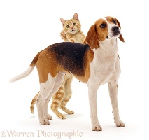 Beagle bitch and ginger cat