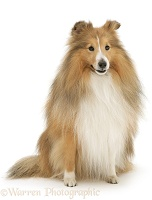 Sable Shetland Sheepdog (Sheltie) sitting