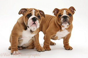 Bulldog pups, 11 weeks old
