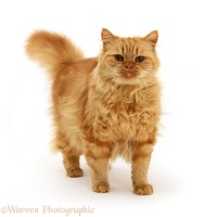 Ginger Persian-cross female cat
