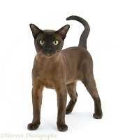 Burmese male cat